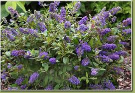 Buddleia Blue chip Lo and Behold Butterfly Bush