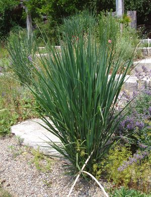 Panicum Virgatum North Wind Swithgrass